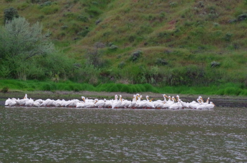 Pelicans by Chief Timothy Park, Silcott Island, WA